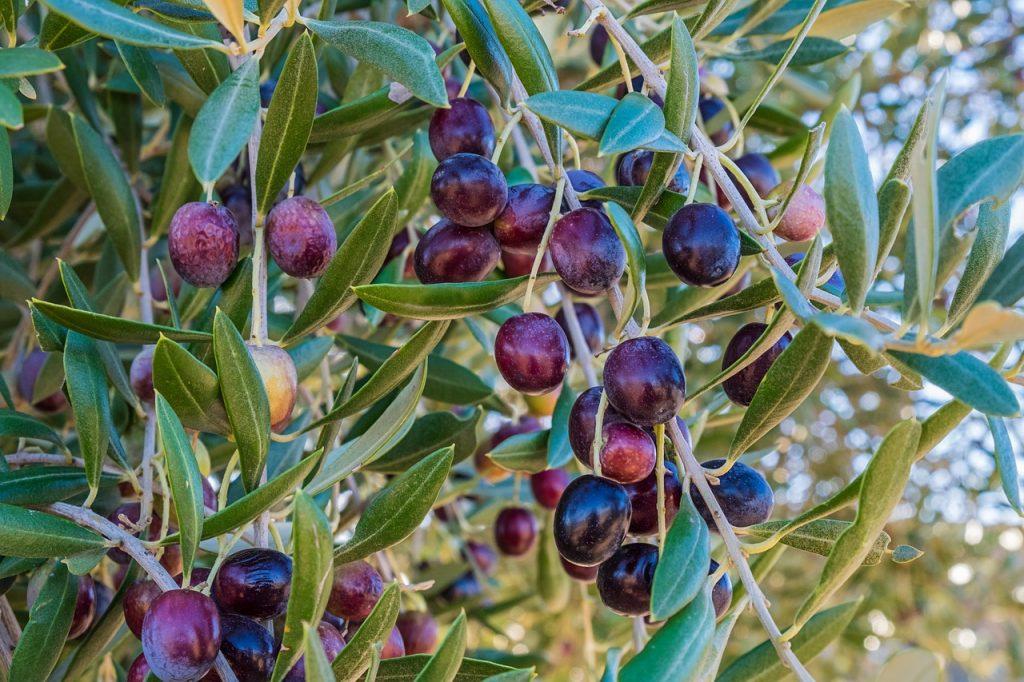 aceituna-aceite-oliva-virgen-extra-ecologico-Murcia