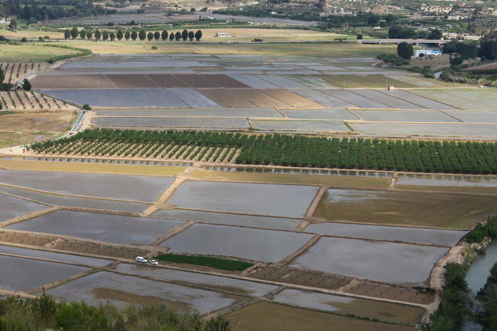 Arroz ecológico cultivado en Calasparra, a orillas del río Segura en la Región de Murcia